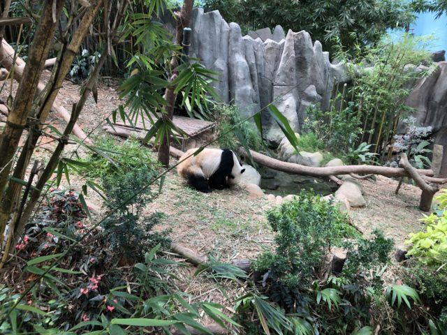 リバーサファリのパンダ